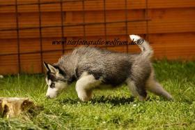 Husky-Welpen