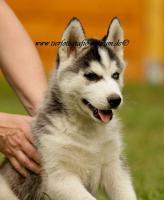 Foto 3 Husky-Welpen