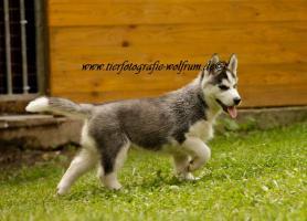 Foto 4 Husky-Welpen
