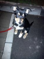 Foto 2 Husky - Appenzeller Welpe, weiblich