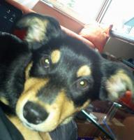 Foto 3 Husky - Appenzeller Welpe, weiblich