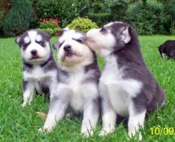 Huskywelpen, Siberian Husky Welpen, sibirische