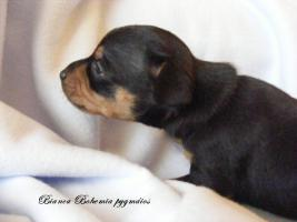 Foto 2 I sell puppies Praque ratter