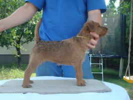 IRISH TERRIER  -  puppies