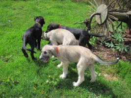Foto 6 IRISH-WOLFHOUND-WELPEN