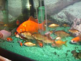 Foto 2 Ich biete Goldfische und Shubukingoldfische