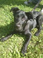 Foto 3 Ich habe eine Labrador Hündin fast 6 Monate alt abzugeben