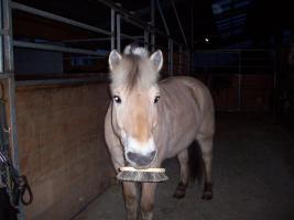 Foto 4 Ich suche eine Reitbeteiligung für mein Fjordpferd