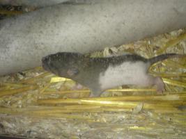 Ich verkaufe meine Ratten da ich leider nicht genug zeit für diese aufbringen kann