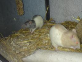 Foto 2 Ich verkaufe meine Ratten da ich leider nicht genug zeit für diese aufbringen kann