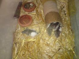 Foto 3 Ich verkaufe meine Ratten da ich leider nicht genug zeit für diese aufbringen kann