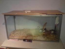 Foto 4 Ich verkaufe meine Ratten da ich leider nicht genug zeit für diese aufbringen kann