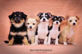 Ich verkaufe meine süßen reinrassigen Chihuahua Welpen!!!