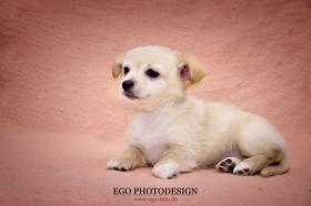 Foto 2 Ich verkaufe meine süßen reinrassigen Chihuahua Welpen!!!