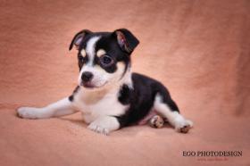 Foto 3 Ich verkaufe meine süßen reinrassigen Chihuahua Welpen!!!