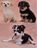 Foto 4 Ich verkaufe meine süßen reinrassigen Chihuahua Welpen!!!