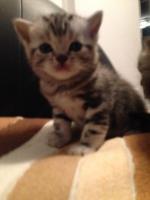 Foto 2 Ich verkaufe zwei Britisch Kurzhaar silver tabby Kitten mit Stammbaum