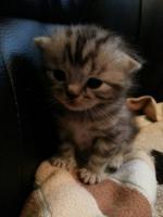 Foto 4 Ich verkaufe zwei Britisch Kurzhaar silver tabby Kitten mit Stammbaum