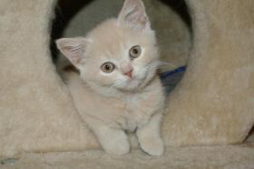 Ich, ein BKH - Kätzchen bin noch auf der suche nach einem neuen Zuhause