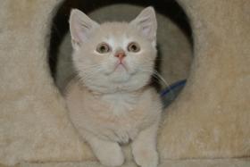 Foto 2 Ich, ein BKH - Kätzchen bin noch auf der suche nach einem neuen Zuhause