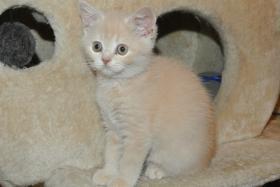 Foto 3 Ich, ein BKH - Kätzchen bin noch auf der suche nach einem neuen Zuhause