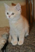 Foto 5 Ich, ein BKH - Kätzchen bin noch auf der suche nach einem neuen Zuhause