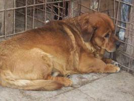 ``Igor`` braucht dringend ein Zuhause! Rottweiler-Dackel-Mix, 5-6 Jahre, 40 cm, kastriert, gechipt.