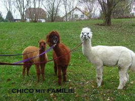 Im Alpaka-Paradies gibt´s im Frühjahr 2013 wieder Jungtiere !!!
