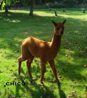 Foto 2 Im Alpaka-Paradies gibt´s im Frühjahr 2013 wieder Jungtiere !!!