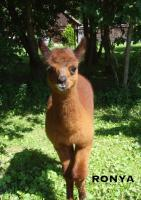 Foto 3 Im Alpaka-Paradies gibt´s im Frühjahr 2013 wieder Jungtiere !!!