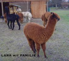 Foto 4 Im Alpaka-Paradies gibt´s im Frühjahr 2013 wieder Jungtiere !!!