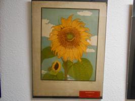 Foto, Sonnenblume