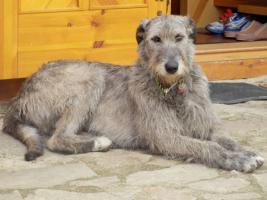 Irischer Wolfshund FCI Welpen