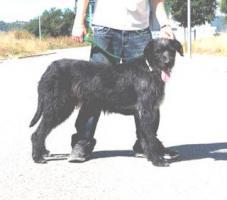 Foto 2 Irischer Wolfshund Mix BANTU sucht ein zuhause oder PS
