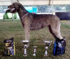 Foto 3 Irischer Wolfshund Superschöne Welpen