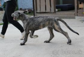 Foto 3 Irischer Wolfshund Welpe