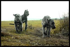 Foto 3 Irischer Wolfshund Welpen abzugeben