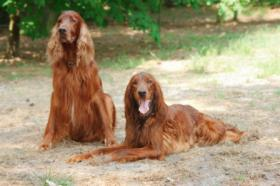 Irish Red Setter Welpen