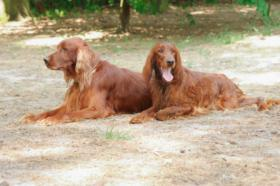 Foto 2 Irish Red Setter Welpen