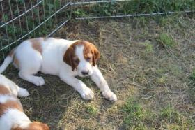 Foto 2 Irish Red and White Setter wundersch�ne WELPEN