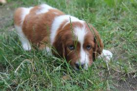 Foto 3 Irish Red and White Setter wundersch�ne WELPEN