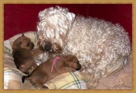 Irish Soft Coated Wheaten Terrier Welpen
