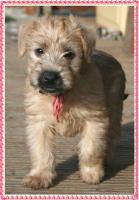 Foto 4 Irish Soft Coated Wheaten Terrier Welpen