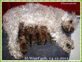 Foto 5 Irish Soft Coated Wheaten Terrier Welpen