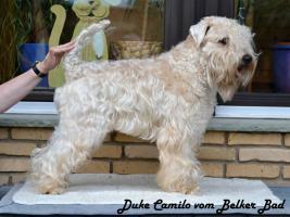 Foto 2 Irish Soft Coated Wheaten Terrier Welpen