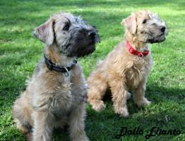 Foto 3 Irish Soft Coated Wheaten Terrier Welpen