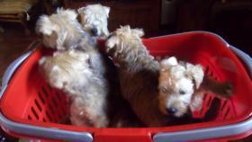 Foto 3 Irish Soft Coated Wheaten Terrier Welpen zu verkaufen