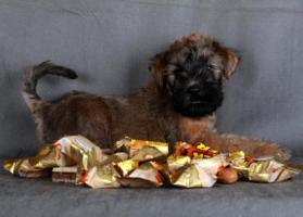 Irish Soft Coated Wheaten Terrier, Zwei Rüden Welpen