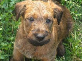 Irish Terrier – Welpen mit Pap. FCI