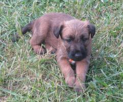Foto 2 Irish Terrier – Welpen mit Pap. FCI